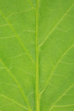 Leaf of a tomato plant Royalty Free Stock Photo
