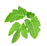 Leaf of tomato Royalty Free Stock Images