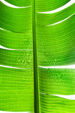 Leaf. Torn banana leaf isolated on white background Stock Photo