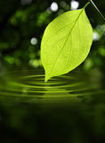 Leaf Touching Water. Green leaf touching water creating  ripples and a calm peaceful effect Stock Photo