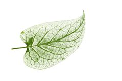 Leaf transparent royalty free stock photography
