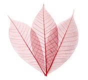 Leaf transparent background. Royalty Free Stock Images