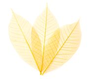 Leaf transparent background. Royalty Free Stock Photography