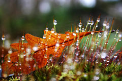 Leaf trapped. Autumn leaf amongst moss with dew dops on them stock images