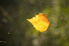 Leaf trapped in cobweb Stock Images