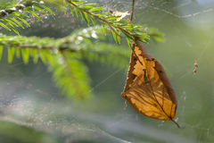 Leaf trapped in spider web Stock Photo