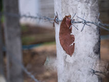 Leaf Trapped in Steel Barbed Wire Stock Image