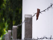 Leaf Trapped in Steel Barbed Wire Royalty Free Stock Image