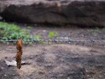 Leaf Trapped in Steel Barbed Wire Royalty Free Stock Photos