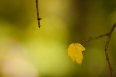 Leaf on a tree. Few yellow chesnut leaf on a tree during fall Stock Photo