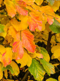 Leaf and tree in autumn Royalty Free Stock Photography