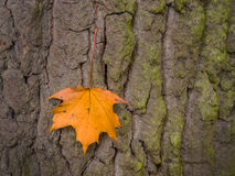 Leaf and tree in autumn Royalty Free Stock Photos