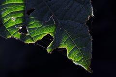The Leaf Stock Photo