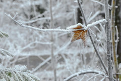 Leaf on tree branch covered with hoarfrost rime ice Stock Photography