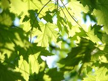 Leaf, Tree, Branch, Maple Tree Royalty Free Stock Photography