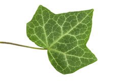 Leaf of a tree the Ivy. On the isolated white background Royalty Free Stock Image