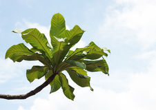 leaf tree in sky Royalty Free Stock Photos