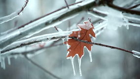 Leaf on a tree snow. Close-up of a leaf on an icy tree stock footage