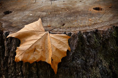 Leaf on a tree stump Royalty Free Stock Photo