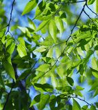 Leaf, Tree, Woody Plant, Branch Stock Photo