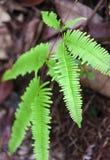 Leaf tropical fern Royalty Free Stock Image