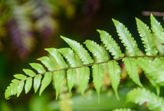 Leaf tropical fern Stock Images