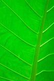 Leaf of a tropical plant. Close-up Royalty Free Stock Photo