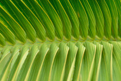 Leaf of tropical plant Royalty Free Stock Photo