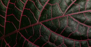 Tropical leaf with red veins. The leaf of a tropical plant has deep red veins Stock Photos