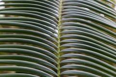 Leaf tropical tree - palm ( cycas revoluta ) Stock Photos