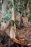Leaf, Trunk and Litter Royalty Free Stock Images