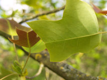 Leaf of a tulip tree Stock Images