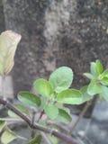 Leaf of a tulsi plant stock photos