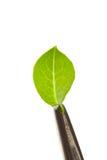 Leaf in tweezers Stock Photos