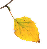 Leaf at a twig of a Silver Birch in autumn Royalty Free Stock Image