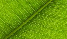 Leaf underside. Photo of a leaf, macro Stock Photo