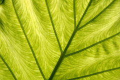 Leaf underside Royalty Free Stock Photography
