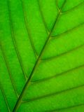Leaf Underside. Macro of Underside of Leaf Royalty Free Stock Images