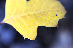 Leaf, up close. A leaf closeup, autumn, very detailed Stock Images