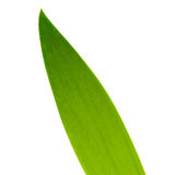 Leaf up close. Iris leaf detail on white background Stock Photography