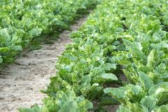 Leaf Vegetable, Field, Agriculture, Plant royalty free stock photo