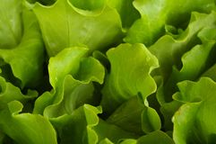 Leaf Vegetable, Lettuce, Leaf, Close Up royalty free stock photography