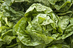Leaf Vegetable - Lettuce Royalty Free Stock Image