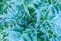 Leaf of vegetable in the morning Stock Photography