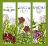 Leaf vegetable sketch banner set of salad greens. Chinese cabbage, iceberg lettuce, spinach, arugula, bok choy, endive, radicchio, cress, romaine and chicory Stock Photos