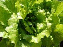 Leaf Vegetable, Vegetable, Lettuce, Leaf royalty free stock image