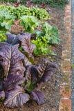 Leaf vegetables growing in garden Stock Images