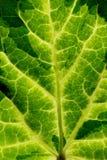 Leaf veif Royalty Free Stock Photos