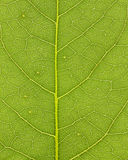 Leaf vein 01 Royalty Free Stock Images