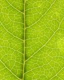 Leaf vein 02 stock photos